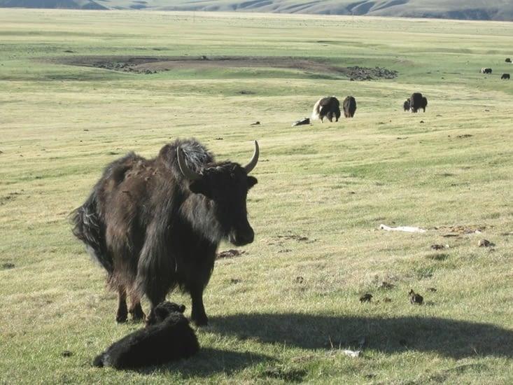 J'vous avais dit que nous rencontrions des yaks peinards