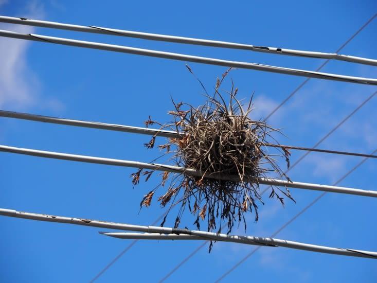 Des plantes arrivent à pousser sur les câbles électriques