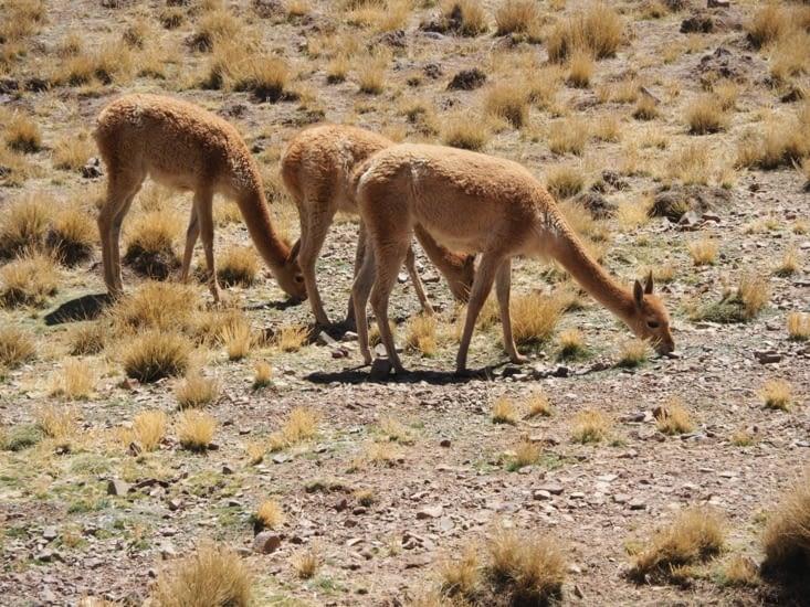 Des vigognes croisées sur le chemin
