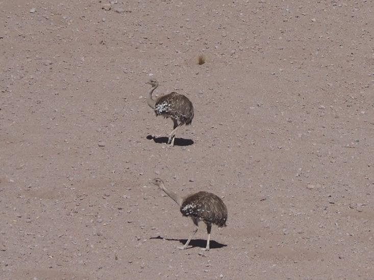 Deux suris (espèce d'autruche) dans le désert