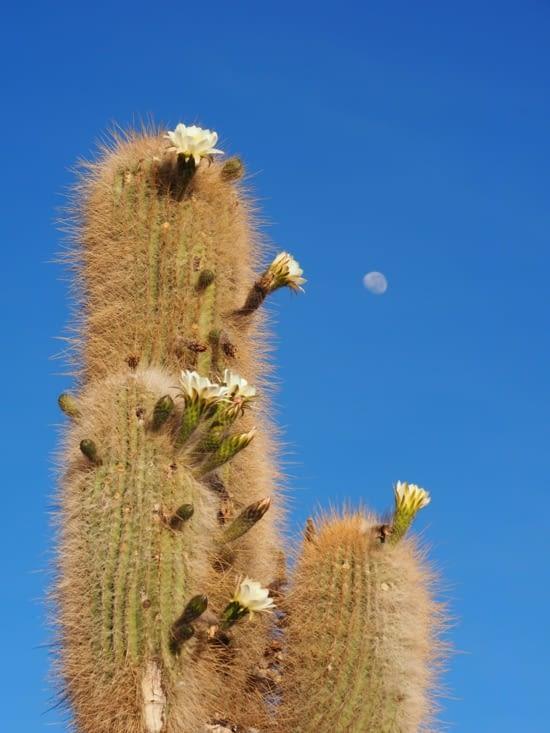La lune veille sur les cactus d'Inkawasi