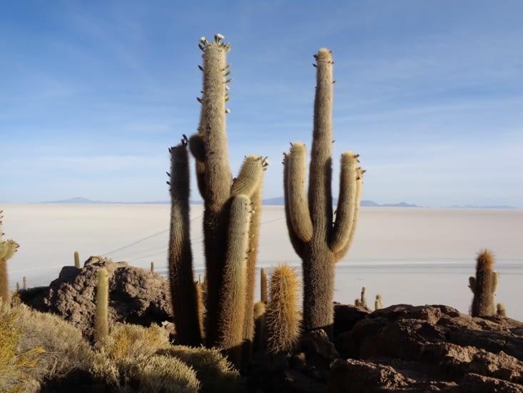 Les cactus de l'ile d'Inkawasi sur le salar d'Uyuni