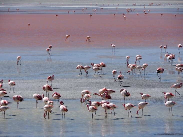 Les flamants roses de la laguna colorada