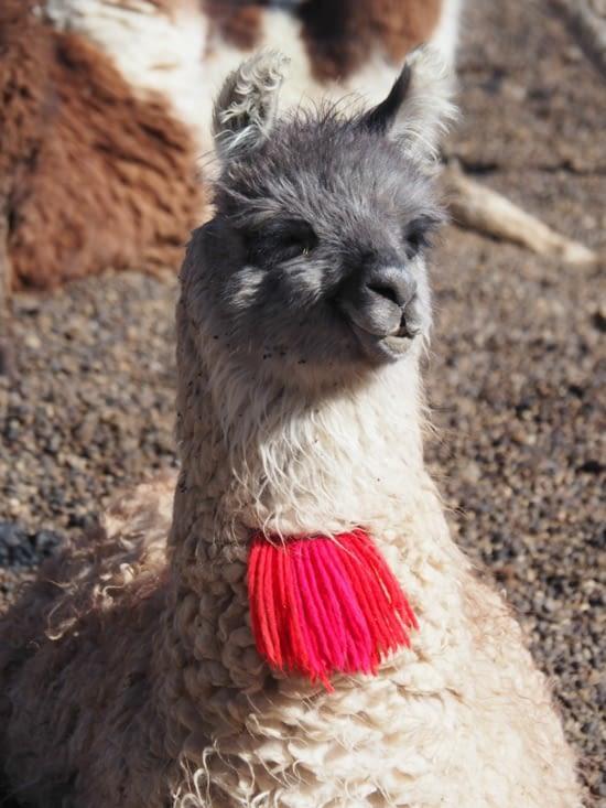 Un deuxième lama dans le sud lipez