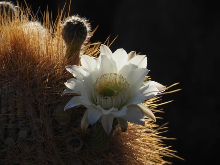 Une fleur de cactus sur l'ile d'Inkawasi