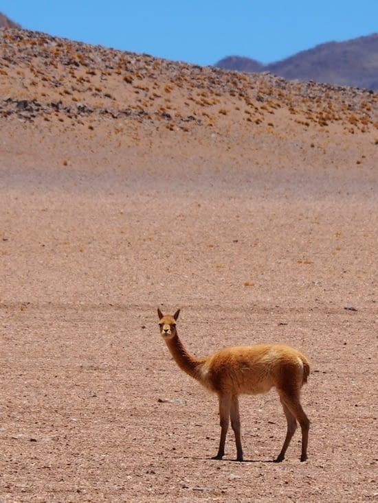 Une vigogne dans le sud lipez