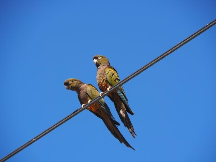 Des perruches rencontrées autour de Salta