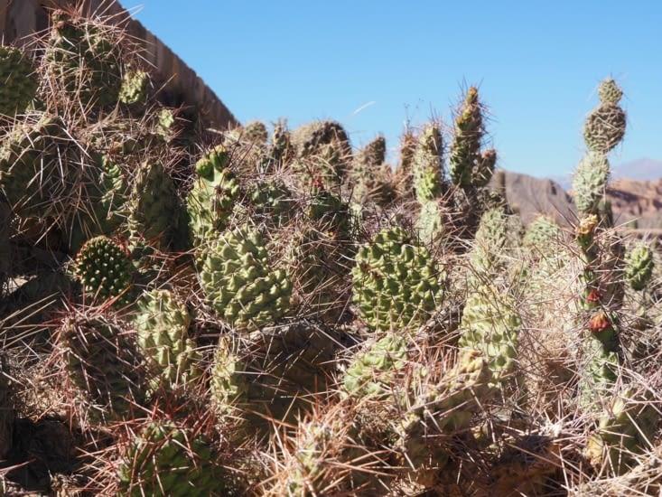 Les cactus utilisés comme protection contre l'envahisseur