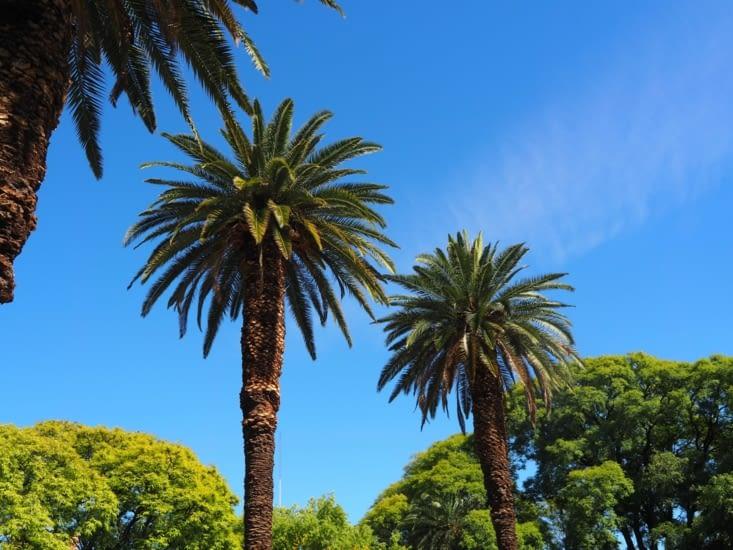 Les palmiers des rues de Mendoza