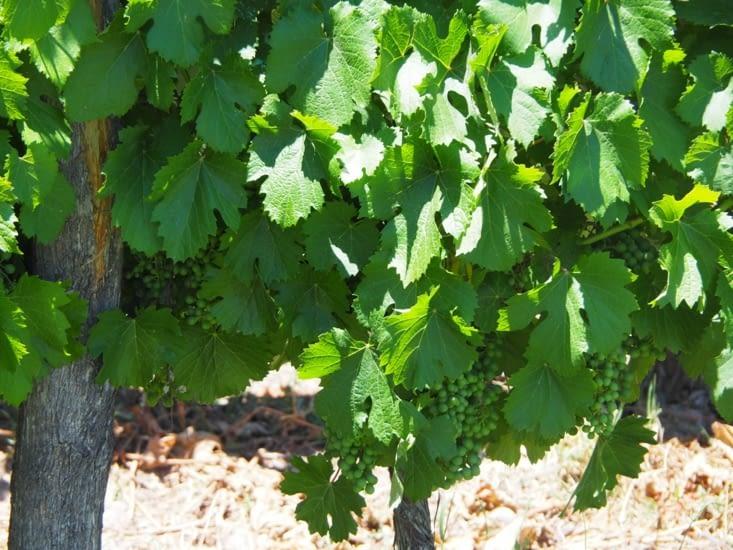 Les vignes de la région de Mendoza