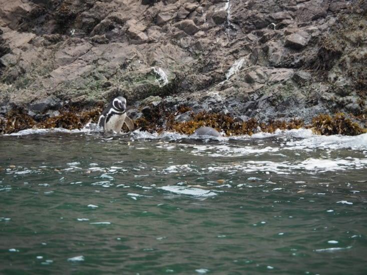 Des pingouins se jètent à l'eau