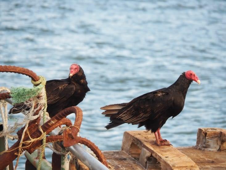 Des urubus à tête rouge survolent les navires d'Ancud