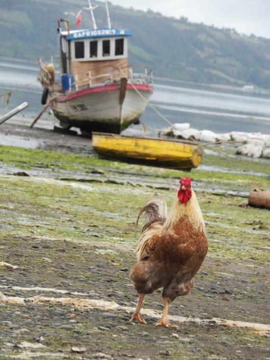 Un fier coq sur l'Isla Quichao