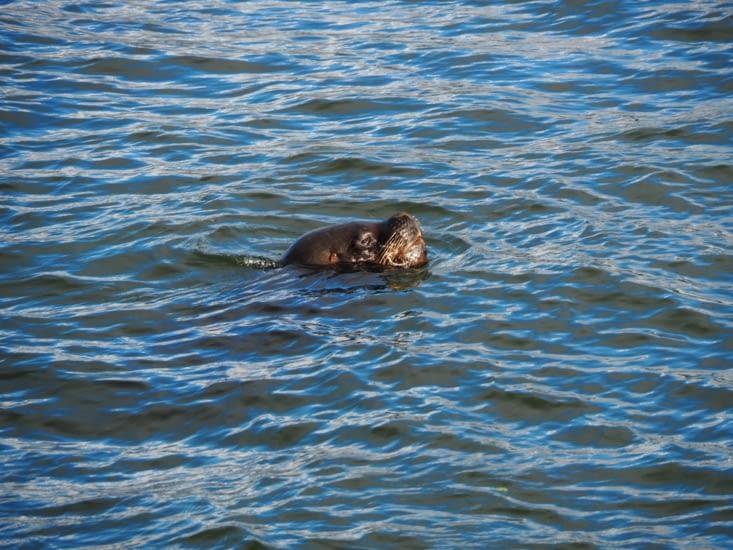 Un lion de mer sur la rive de Castro