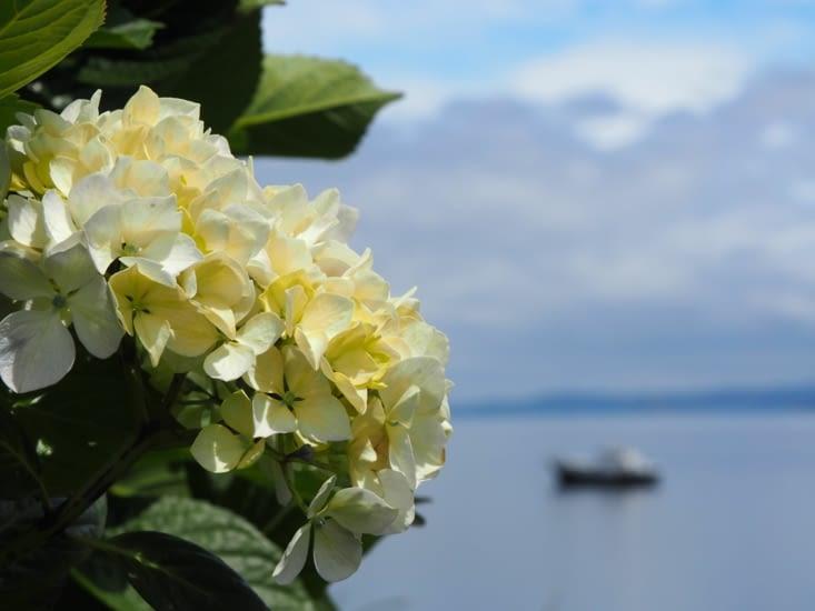 Un rhododendron sur l'île de Chiloé