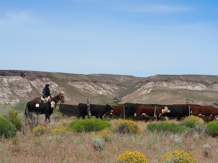 Un gaucho et son troupeau de vaches
