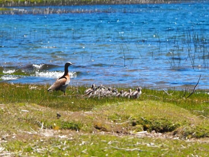 Une famille de canard se jette à l'eau