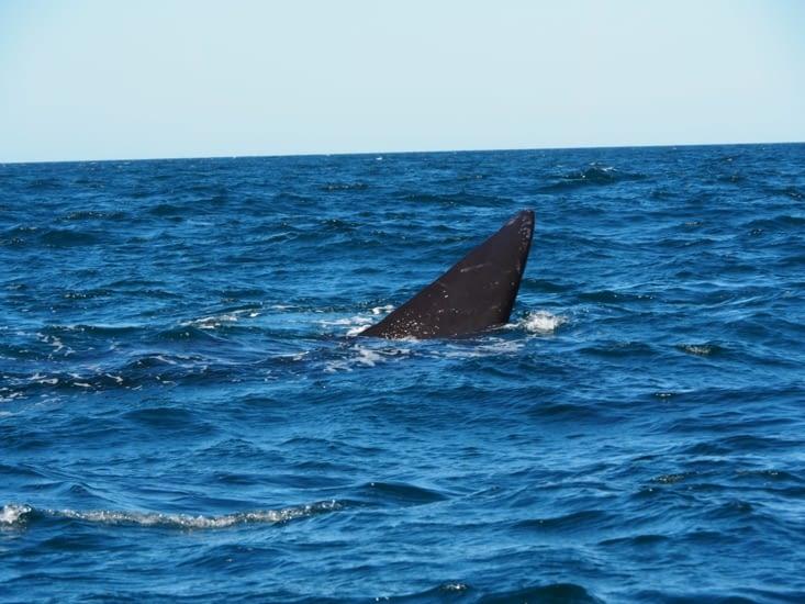 La nageoire de la baleine franche australe