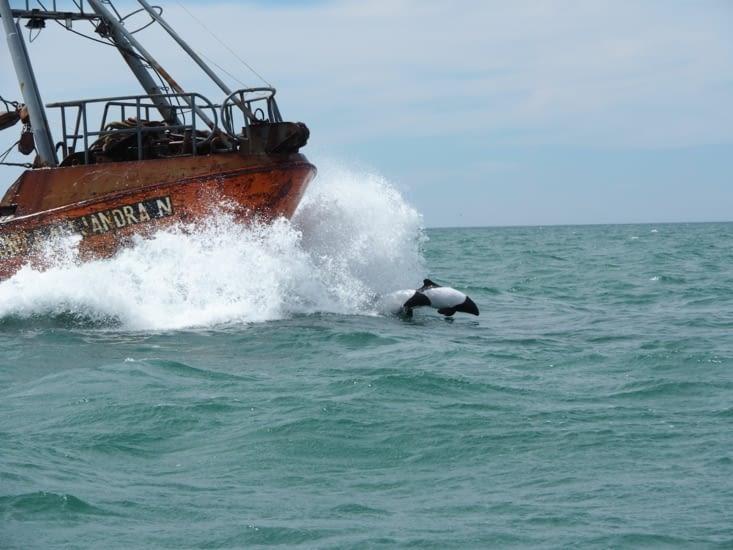 Les dauphins de Commerson