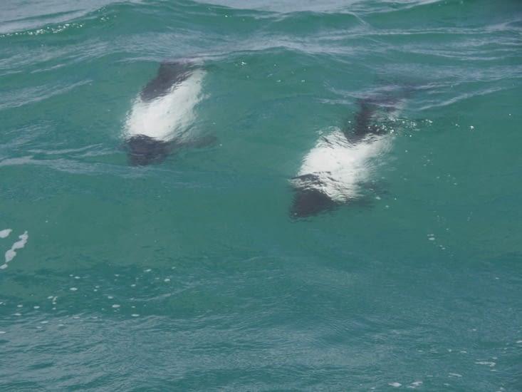 Les dauphins sont très rapides