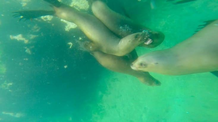 Les lions de mer s'amusent sous nos palmes