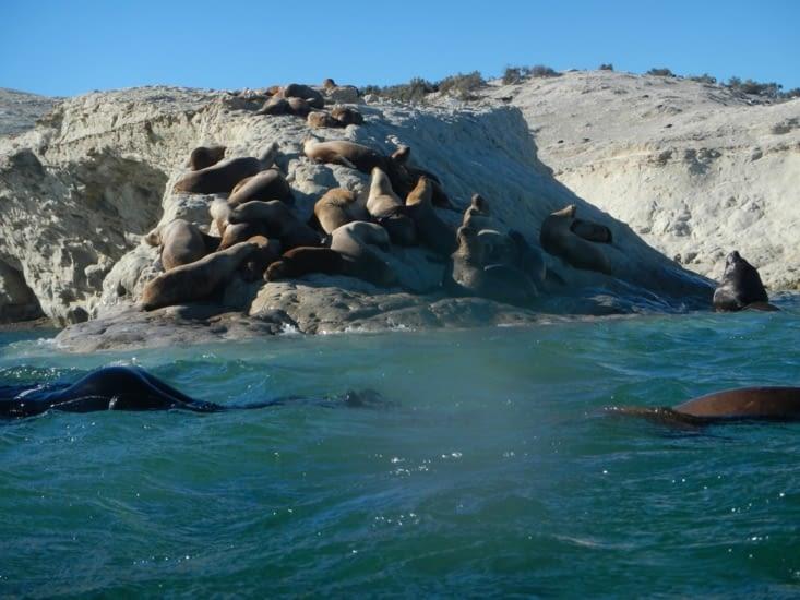 Les lions de mer se reposent sur les rochers entre deux baignades