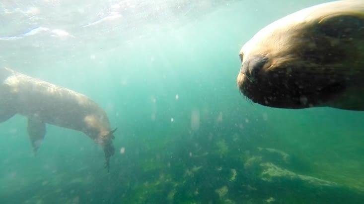 Rencontre avec un lion de mer