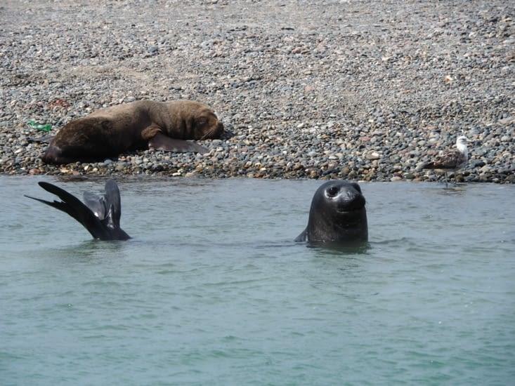 Un ami éléphant de mer est intrigué