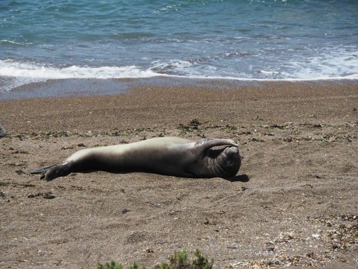 Un éléphant de mer se repose sur la plage