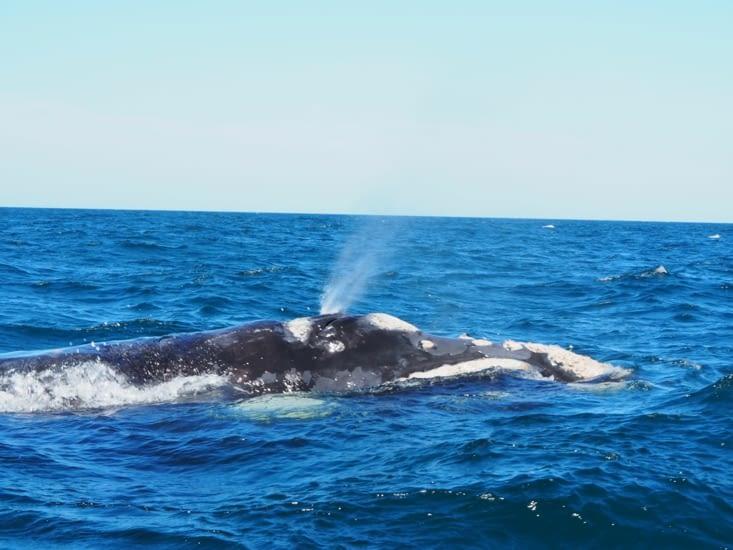 Une baleine franche australe de la péninsule Valdès
