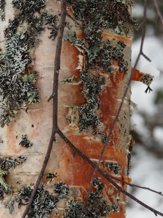 Ecorce de la forêt boréale