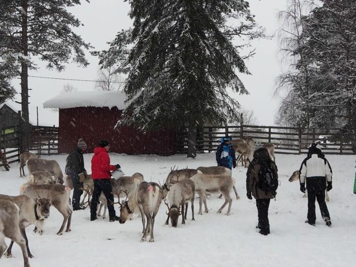 Visite d'un élevage de renne