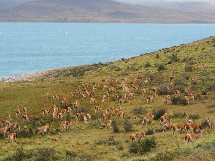 Une colonie de guanacos à l'entrée du parc