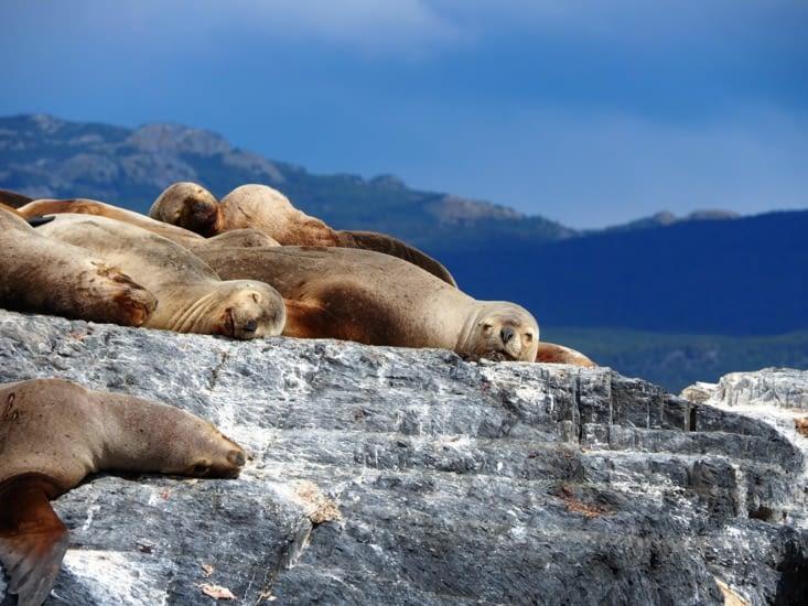 Les lions de mer du canal de Beagle