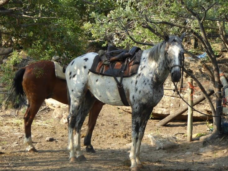 Les chevaux sont prêts