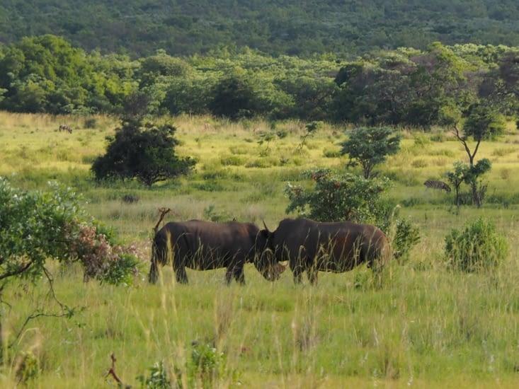 Deux rhinos qui se défient