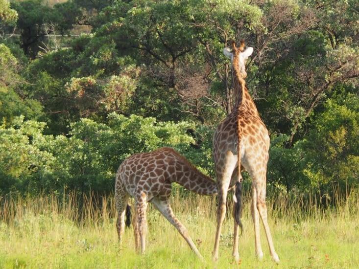 Tétée du girafon