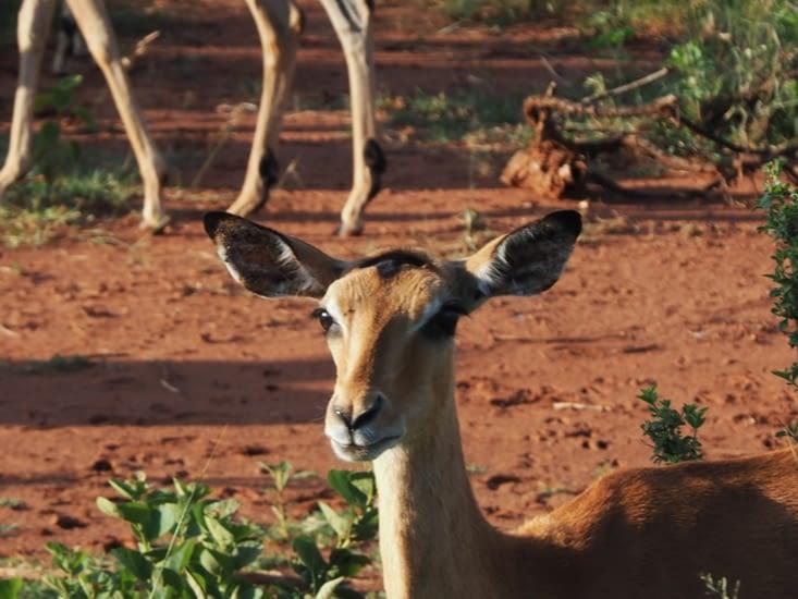 Un impala