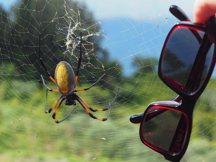 La géante araignée en comparaison d'une paire de lunettes