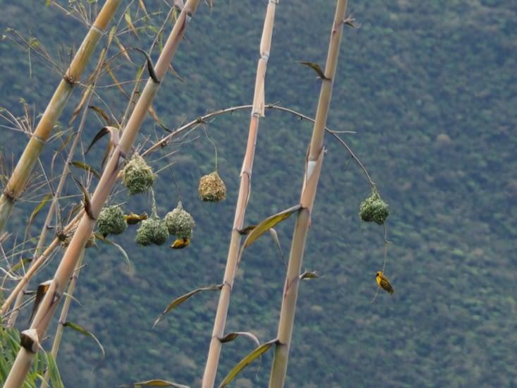 Les nids des oiseaux bélier