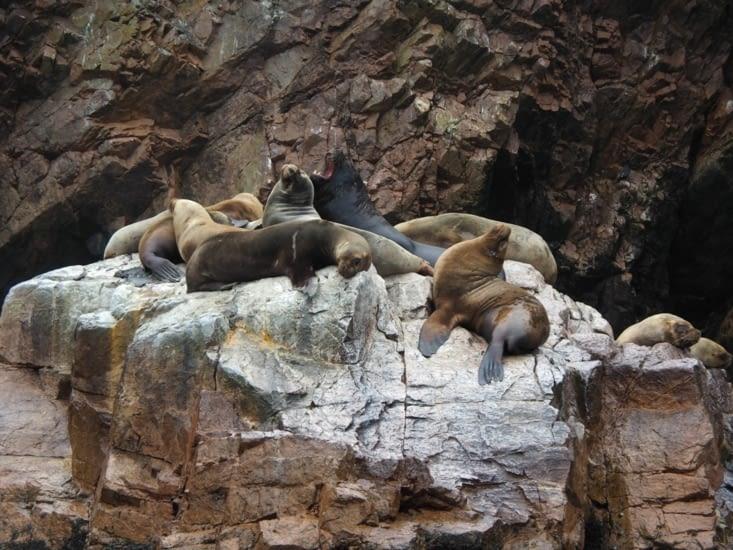 Des lions de mer sur les iles Ballestas