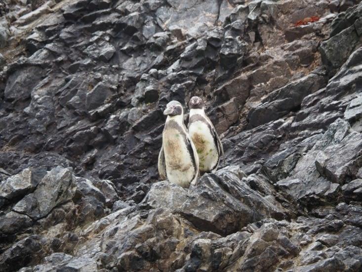 Des pingouins nous regardent depuis les iles Ballestas
