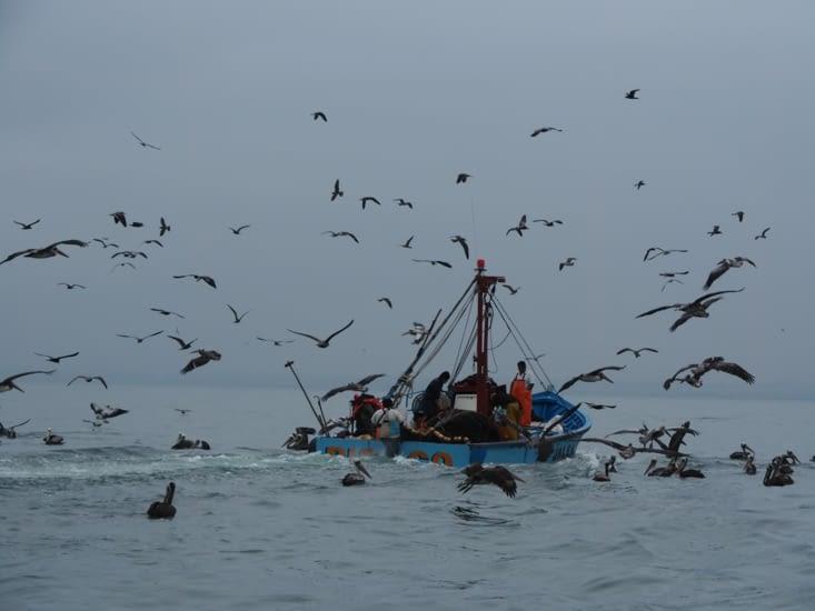 Les bateaux de pécheurs sont suivis par des centaines d'oiseaux