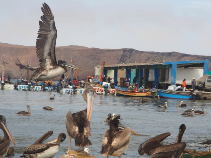 Les pélicans par dizaines dans le port de la réserve naturelle de Paracas