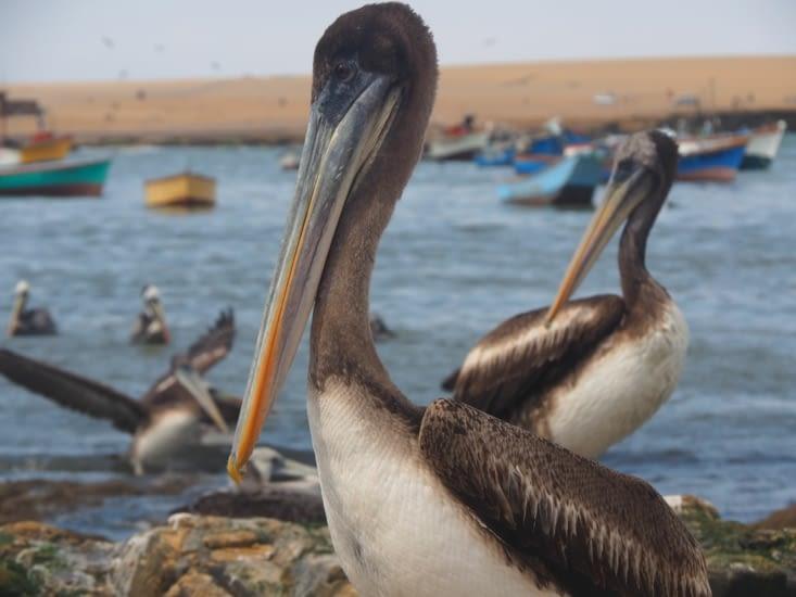 Pélican dans le port de la réserve naturelle de Paracas