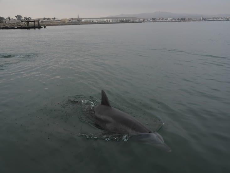 Un dauphin dans la baie de Paracas