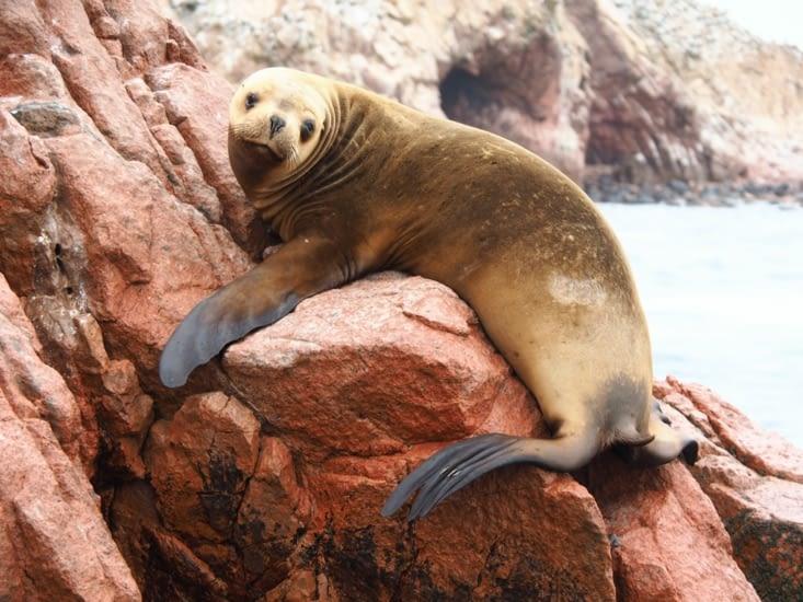 Un lion de mer des iles Ballestas s'intéresse à notre venue