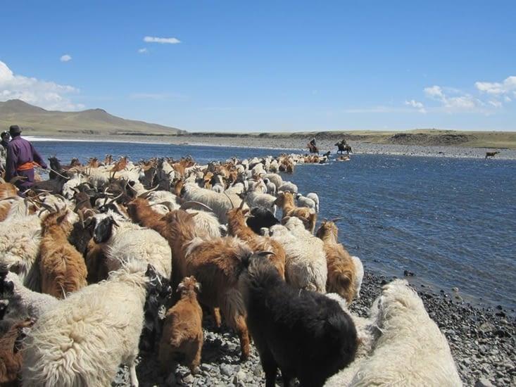 La traversée de l'Orkhon avec le troupeau, enfin !