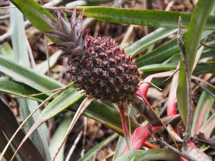 La flore de la jungle - Des ananas