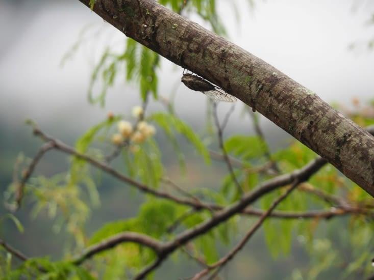 Une cigale trouvée dans la jungle péruvienne